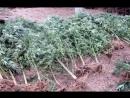 В Алуште обнаружена плантация конопли