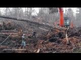 Разъяренный орангутан пошел воевать с бульдозером, ломающим его лес