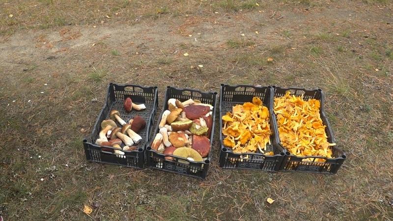 Сезонная Работа в Финляндии. Сбор грибов. Сколько можно заработать?