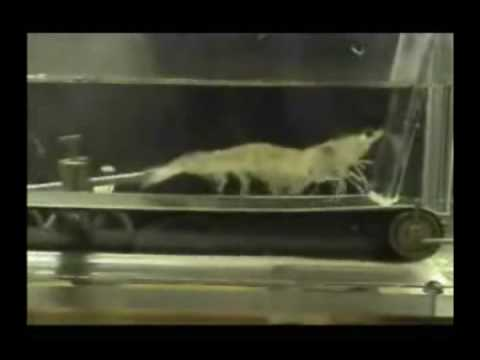 Shrimp Running on a Treadmill To Eye Of The Tiger