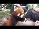 Ма́лая па́нда лат Ailurus fulgens красная панда