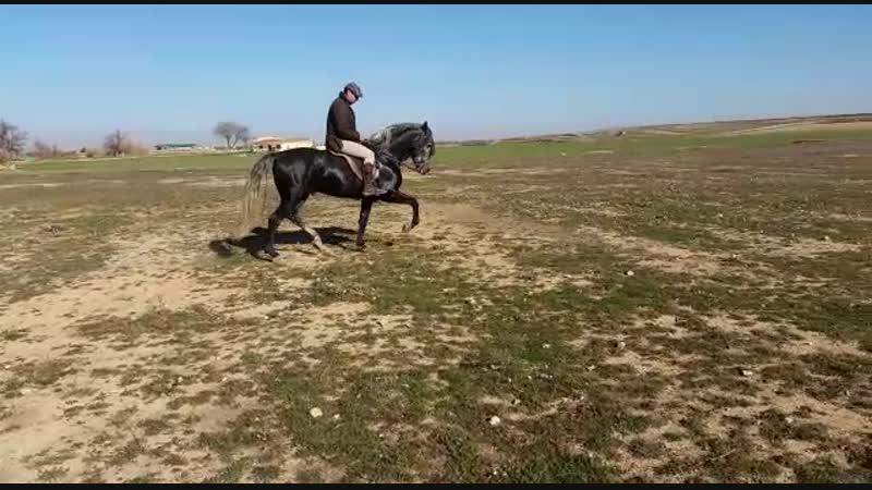 Серая лошадь в яблоках 162 см в холке