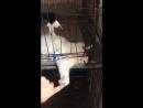Кошка Капа