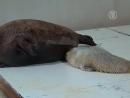 Маленький тюлень радует жителей Токио