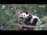 Ну очень мило: спящие панды
