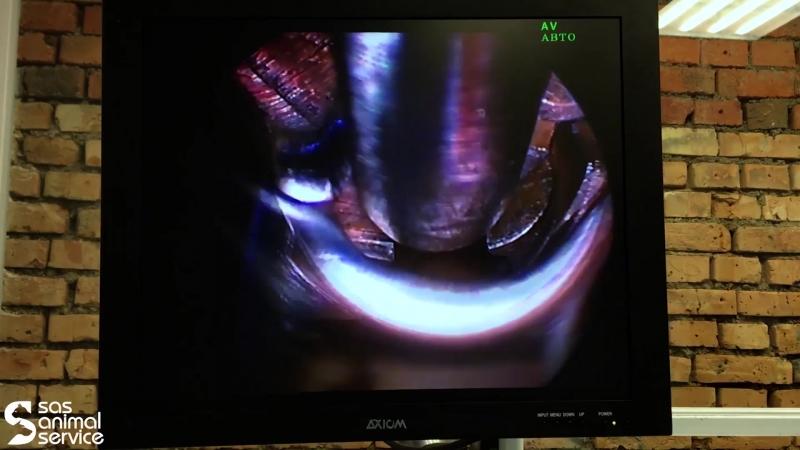 Нефроскопия у кошки. удаление камней из почки.