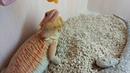 Ящерицы едят из шприца