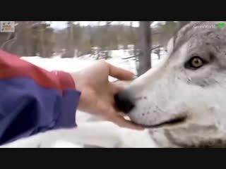 HUGE Wolves who LOVE People