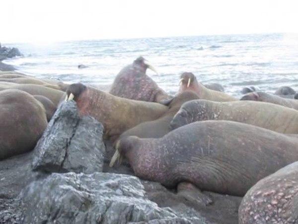 Моржи укладываются спать