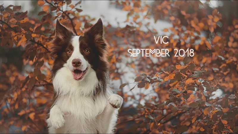 Vic border collie - September 2018 ♥