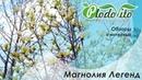 Магнолия Легенд I Magnolia Legend