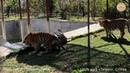 Тигриные игры с тыквой Тайган Крым Tigers play pumpkin