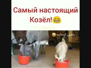 Самый настоящий козёл
