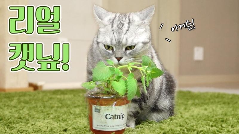 살아있는 캣닢 풀을 본 고양이들 반응은! 꿀잼