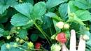 Серая гниль клубники,как защитить ягоды