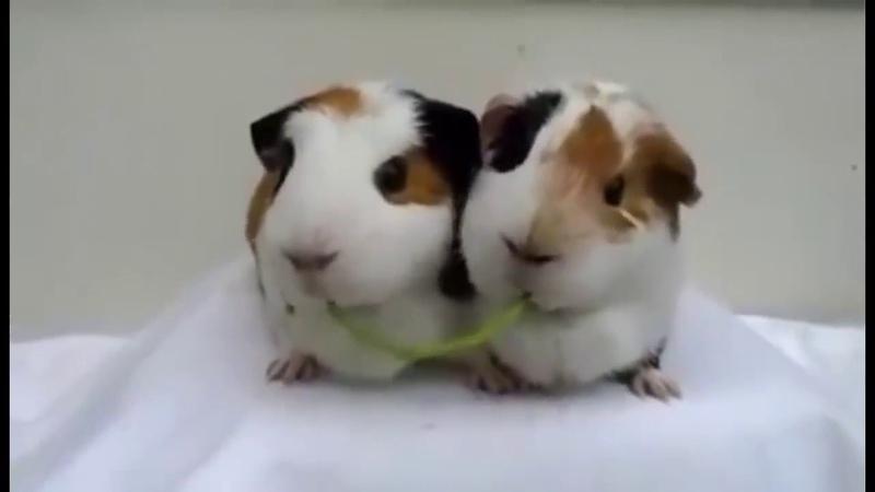 2 прикольные морские свинки вместе грызут травинку