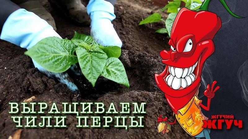 Выращиваем чили перцы Часть 1 Высаживаем рассаду