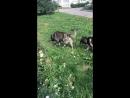 Собаки Клюва
