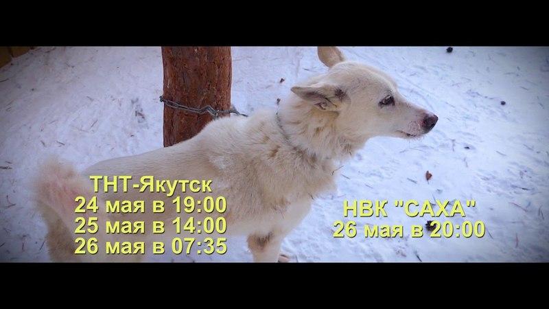 Анонс Якутская охотничья лайка