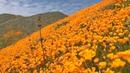 Калифорнийский золотистый мак буйно цветёт после дождей