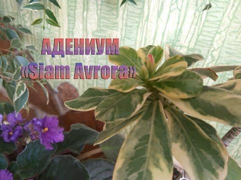 Счастью нет предела АДЕНИУМ Siam Avrora Комнатное цветоводство