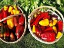 Собрала урожай перца 13 июля/ Уход для дальнейшего урожая/ Обзор сортов
