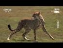《БОРЬБА ЗА ЖИЗНЬ》Большая история кошек.