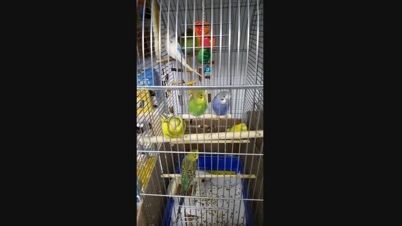 Попугайчики )) мушки ,зайки и крысик и свинка морская))