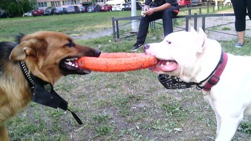 Амстафф vs двортерьер - Каспер и Рекс перетягивают пуллер