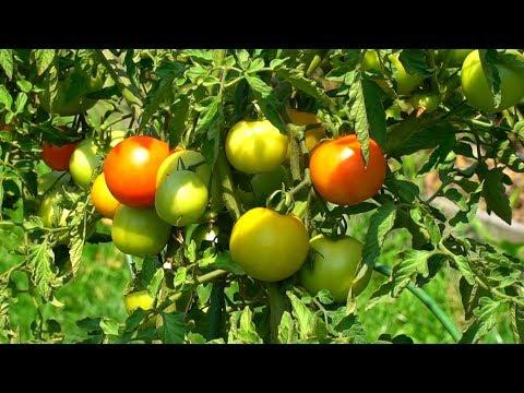 Что сделать, чтобы были сладкие помидоры Нормы полива томатов