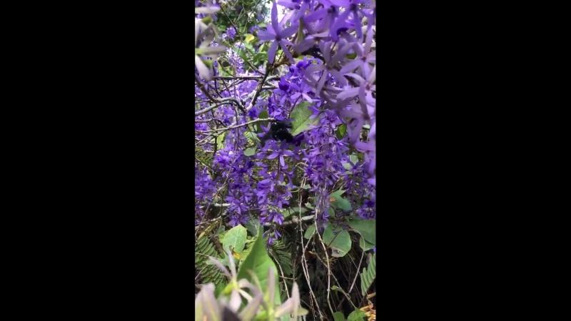 Мамонтовая черная пчела опыляет Petrea volubilis (Verbenaceae). Сантьяго Атитлан, Гватемала