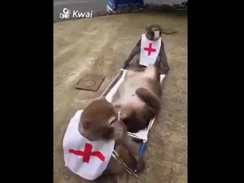 Monkey saves a Monkey in Ambulance funny video