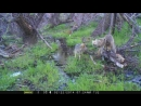 Coyotes playing in Tunis Creek