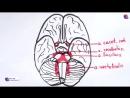 Виллизиев круг - анатомия, сосуды -