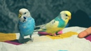 Bought two lilttile Budgies