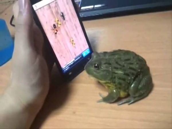 Hilarious Frog Attack (Frog Playing a Game)