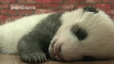 Sleeping panda - Eels - I Need Some Sleep