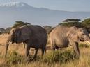 В мире животных Как львы уживаются со слонами