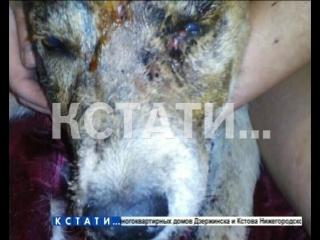 Неизвестные живодеры изуродовали, а потом расстреляли собаку в Кстове