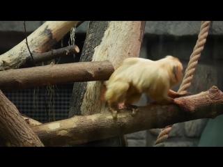 Золотистый львиный тамарин_Зоопарк Новосибирска