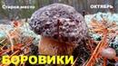 Боровики и белые грибы в неизвестном лесу.Октябрь