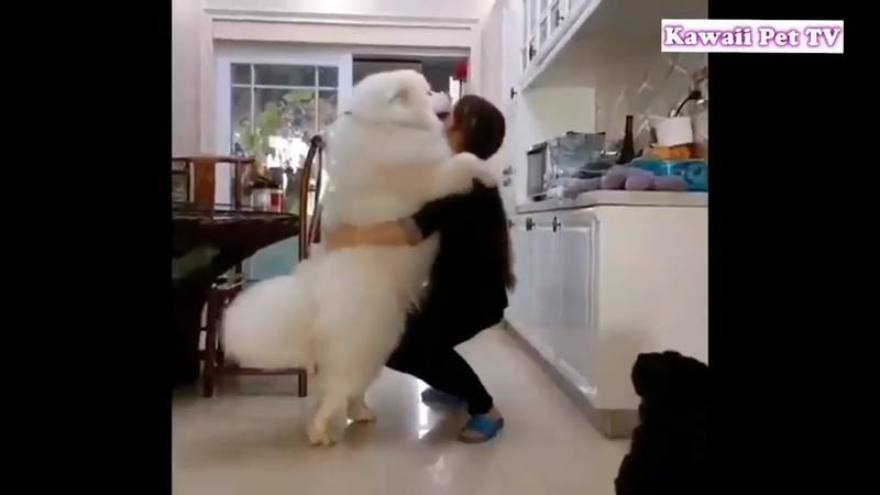 「甘えん坊犬」自分を赤ちゃんのように思っているサモエド犬・抱っ 12371
