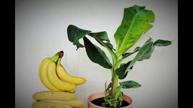 Come fare nascere una pianta di banano dal frutto a costo zero, coltivare il banano, banane, planta