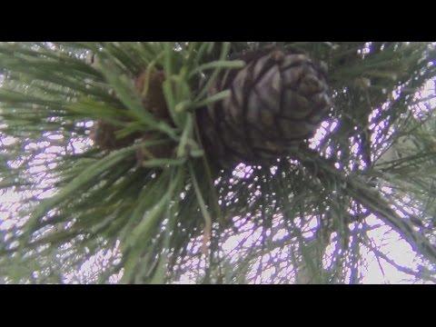 Кедровый орех упавший с кедра в ручей Раздевшись собираем его из воды Тайга лес поход охота сибирь