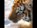 m.tiger