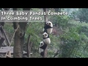 Three Baby Pandas Compete In Climbing Trees iPanda