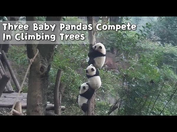 Three Baby Pandas Compete In Climbing Trees | iPanda