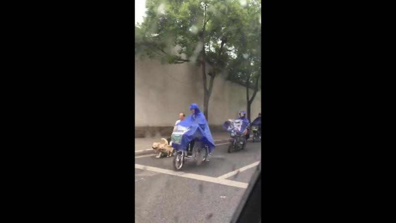 Китайский дед на собачьей упряжке