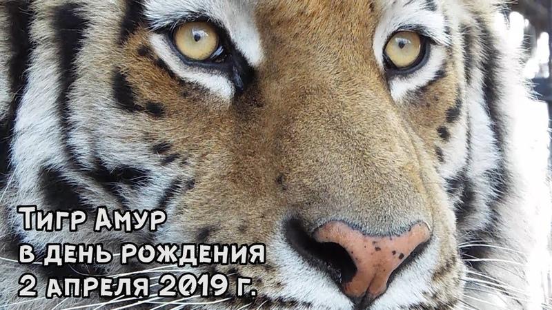 Тигр Амур в день рождения 2 апреля 2019 г.