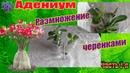 Адениумы выращенные из семян в домашних условиях Размножение черенками Часть 7 я